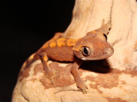 Crested Gecko Shedding by 100 Crested Gecko Shedding Help The Amazing Gecko