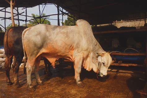 Bibit Sapi Brahmana peternakan sapi safari ternak jual hewan qurban sapi