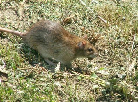 symptoms of rat poisoning in dogs architekturakrajobrazu info bezpieczeństwo roś zwierzęta w ogrodzie cz 2