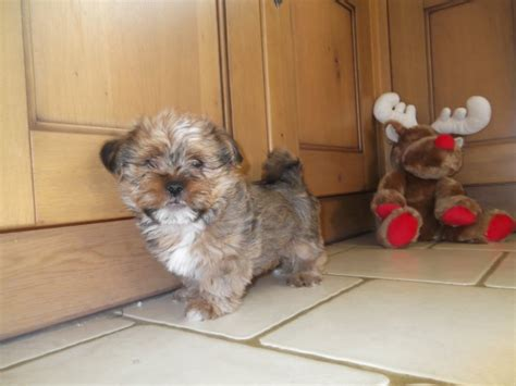 lhasa apso x yorkie lhasa apso x yorkie etchingham east sussex pets4homes