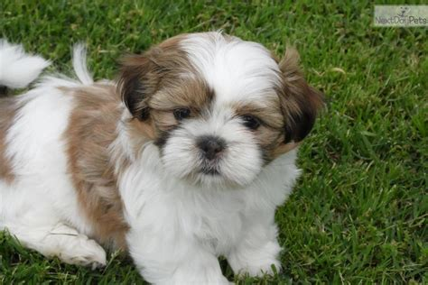shih tzu for sale in missouri shih tzu puppies for sale 650 breeds picture