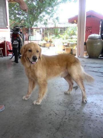 golden retriever mating age 1 golden retriever ready to mating stud services from kuala lumpur adpost