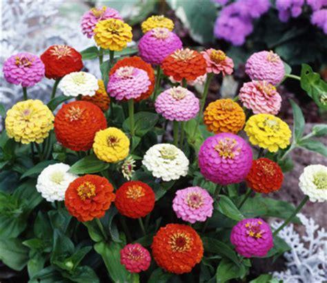 Benih Bibit Bunga Matahari Mix Garden zinnia sprite mixed 5benih purie garden