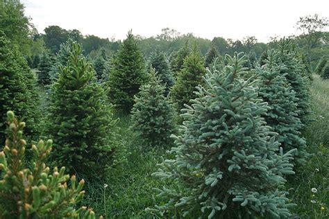 best christmas tree farm in louisiana tree farms near washington d c