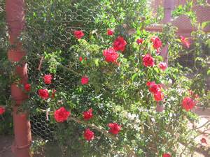 Scarlet Letter Bush My Adobe Peace Garden In Bloom On The Mexican American Borderline Stop The