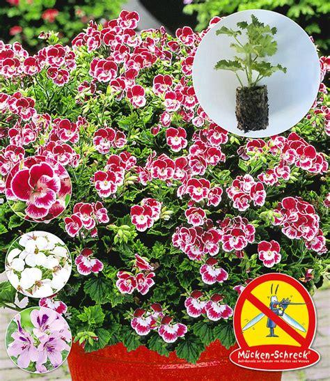 hänge geranien wann pflanzen duft geranien m 252 ckenschreck 174 geranien bei baldur garten