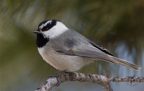 mountain chickadee letter from norfolk