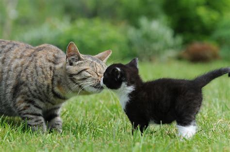 how to introduce a cat to a how to introduce a new kitten your cat and cats kittens