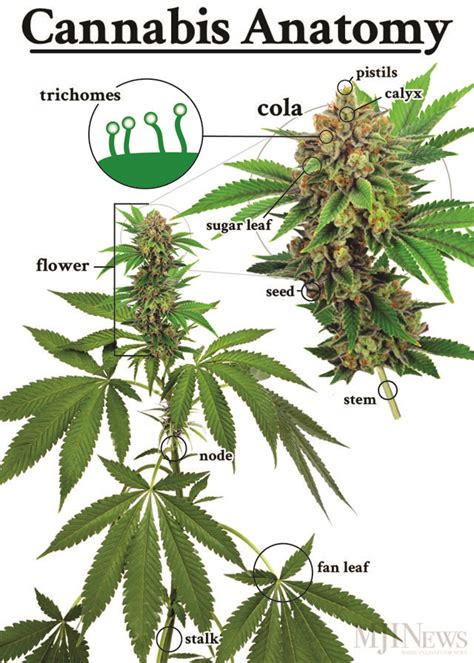 cannabis guide disease treatments using cannabis marijuana hemp extracts books 110 best images about cannabis plant on
