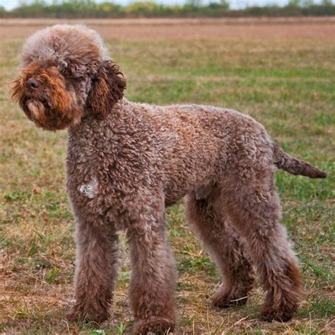 italian word for puppy lagotto romagnolo as far back as ancient rome the name means quot lake from romagna
