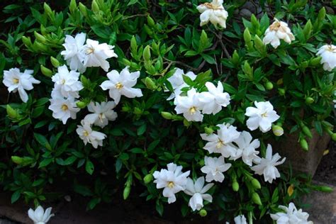 Tanaman Jempiring Gardenia cara menanam bunga gardenia tanaman hias bunga buah dan