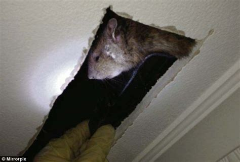 Rats In Ceiling by Rat The Size Of A Cat Cornered And Killed By Pest