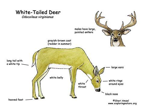 whitetail deer diagram deer white tailed exploring nature educational resource