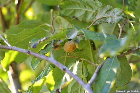 Kaki Baum Winterhart 1174 by Kaki Baum Winterhart Diospyros Kaki Tipo 160cm Kakibaum