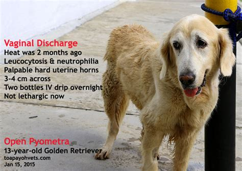 golden retriever eye discharge 2010vets january 2015