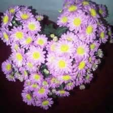 Tanaman Kemuning Micro tanaman bunga lilin lollipop plant bibitbunga