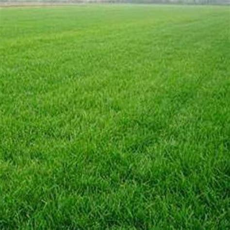 10000pcs tall fescue green grass seed festuca arundinacea lawn field turf seeds ebay