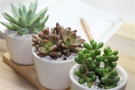 piante grasse da interno piante grasse appartamento piante grasse da appartamento
