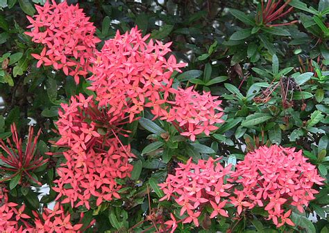 popular flowering shrubs ixora flower