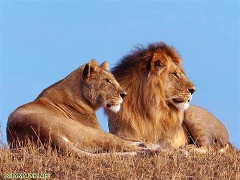 Difference Between Lion And Lioness | شاهد الفرق بين الأسد واللبؤة the difference between lion