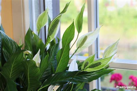 Einblatt Pflege Tipps by Einblatt Scheidenblatt Spathiphyllum Pflege Plantopedia