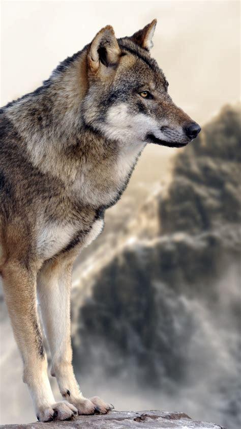 wallpaper wolf mountain  animals