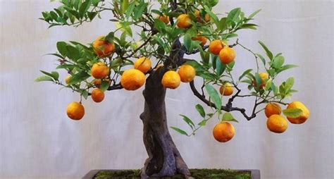 piante bonsai da interno bonsai da interno bonsai