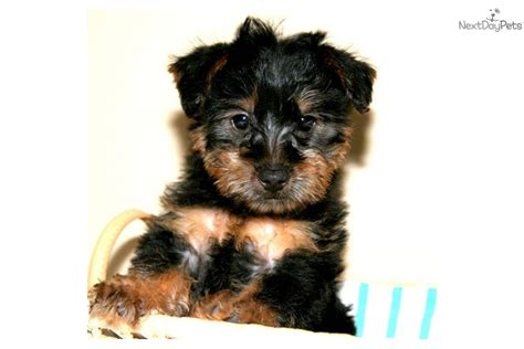 yorkie poo price meet prince william a yorkiepoo yorkie poo puppy for sale for 399 price