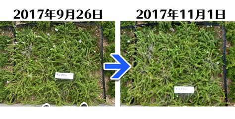 Mont Blanc 171101 5ヶ月経過 春先に植えた芝桜9品種の生育状況