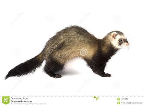 ferret attacks stock photo image