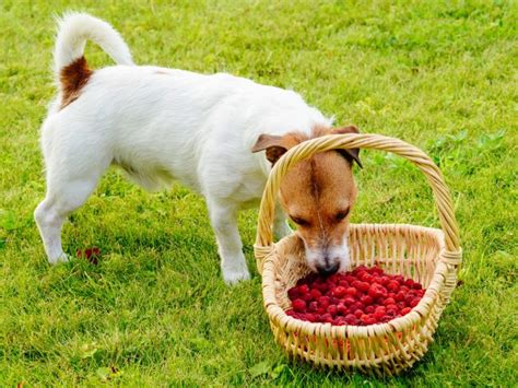 raspberries for dogs can dogs eat raspberries organic facts
