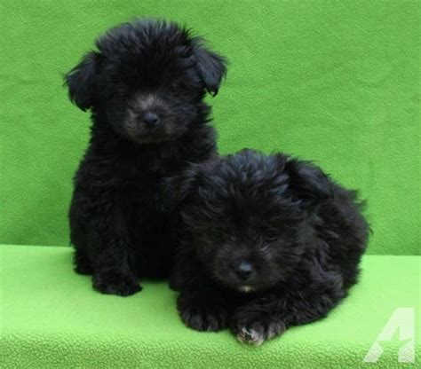black maltipoo puppies gorgeous black mini maltipoo puppies for sale in lakeside california classified