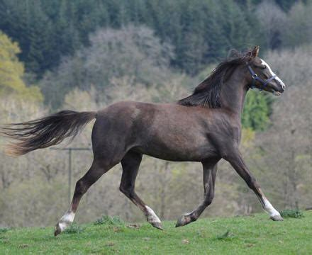 welsh section b ponies for sale bronheulog stud for sale welsh ponies section b part
