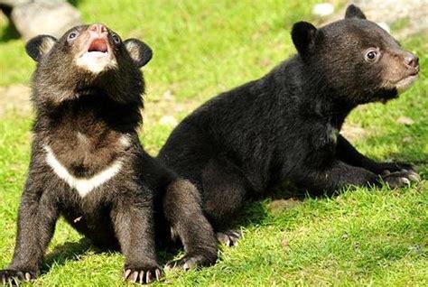 asian black bear cubs baby animal zoo