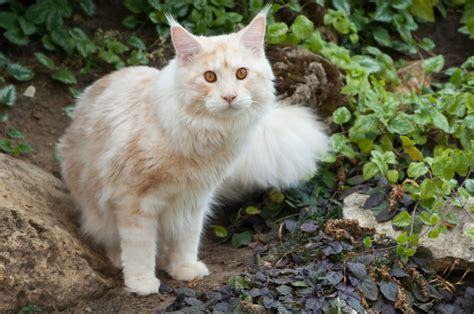 Coon Light Get To Know The Maine Coon A Gentle Giant Bred By Nature