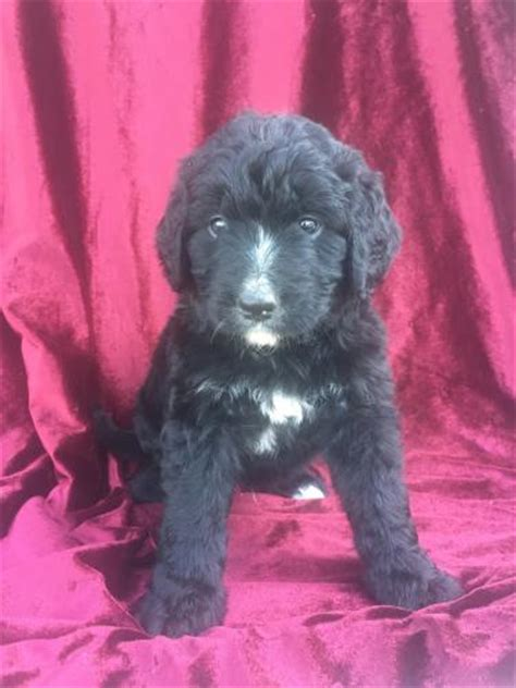 bernedoodle puppies for sale in michigan michigan for sale puppies for sale