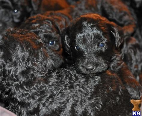 labradoodles puppies for sale scotland miniature labradoodles ready jan 20th in scotland 38968