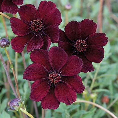 chocolate cosmos cosmos chocolate cosmos eclipse plants from mr fothergill