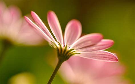 new year pink flower pink blurred flower 7592 2880 x 1800 wallpaperlayer