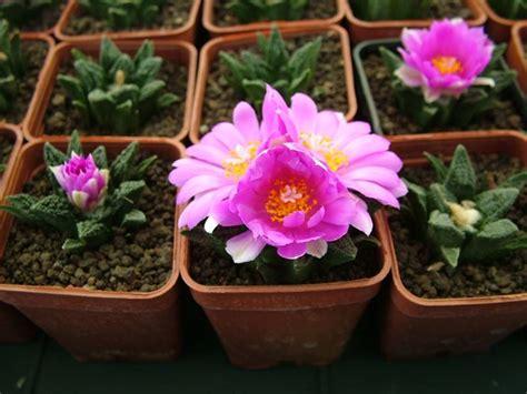 piante grasse in casa curare le piante grasse in casa piante grasse cura
