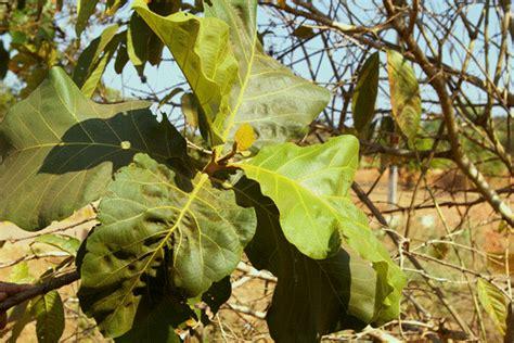 hton grandis tree 90cm welcome to pilikula nisarga dhama