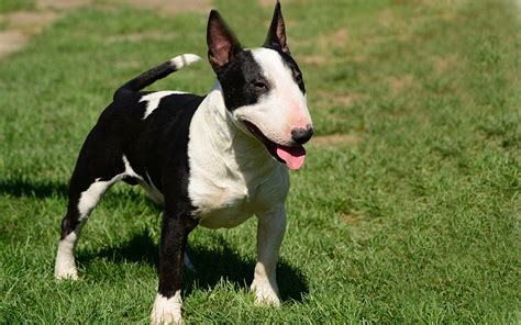 bull terrier miniature the life of animals miniature bullterrier puppies breed information puppies