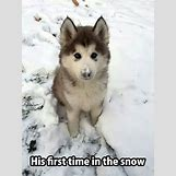 Cute Husky In Snow | 540 x 720 jpeg 58kB