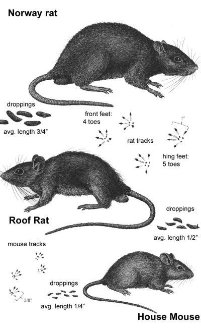 80 best rodents 101 mouse rat pest facts tips info