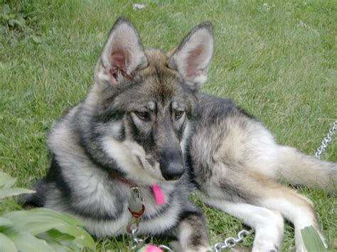 wolf german shepherd german shepherd timber wolf mix breeds picture