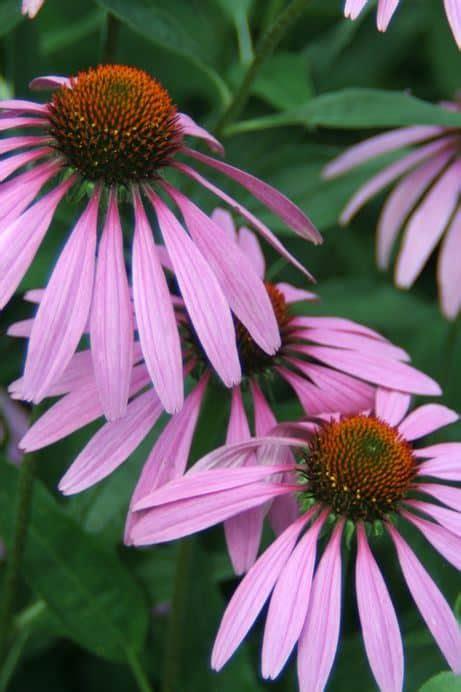 gardening  hot climates heat tolerant perennials