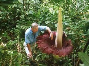 Largest Flower In The World The Largest Flower In The World