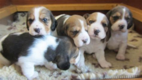 beagle puppies for sale in adorable kc reg beagle puppies for sale wareham dorset pets4homes