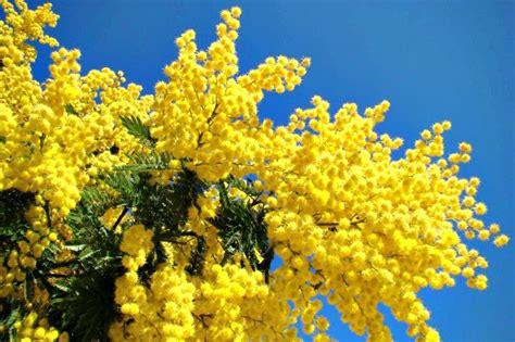 pianta di mimosa in vaso acacia dealbata mimosa