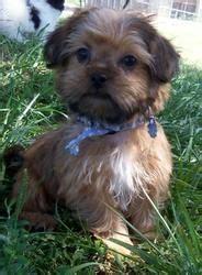 happy grove shih tzu shorkie is an adoptable shih tzu in yukon pa shorkie pups